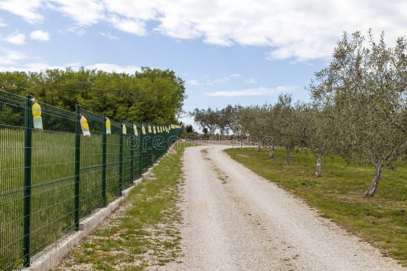 Opinión sobre una arboleda verde oliva orgánica grande imagen de archivo