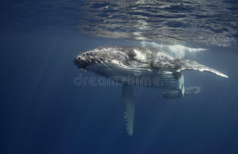 Opinión subacuática un becerro de la ballena jorobada imagenes de archivo