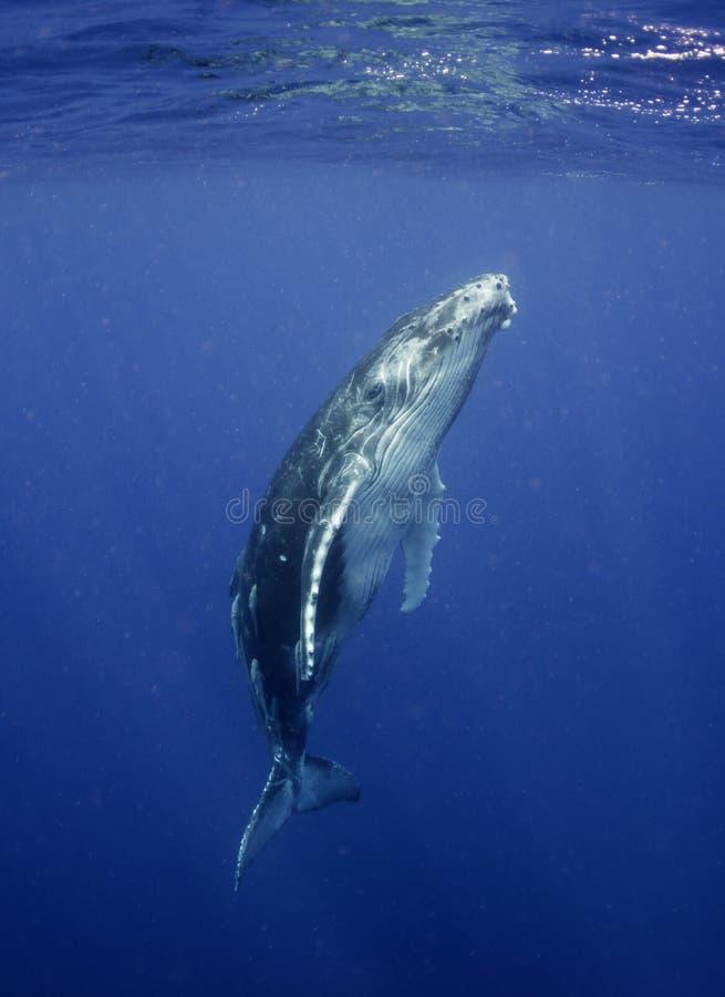 Opinión subacuática un becerro de la ballena jorobada como sube a la respiración foto de archivo