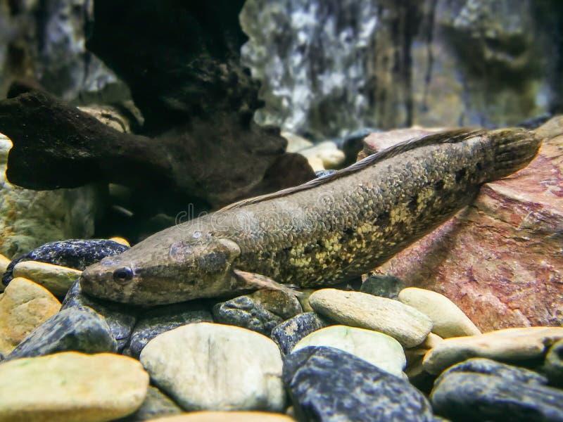 Opinión subacuática un pescado manchado del snakehead (de la cobra) (marulius de Channa) fotos de archivo