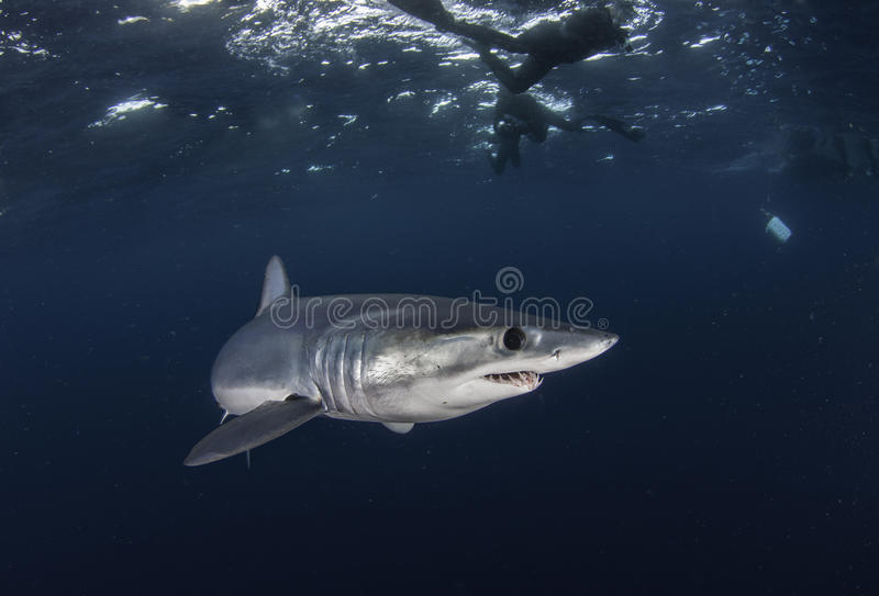 Opinión subacuática un tiburón de mako que nada a poca distancia de la costa de Western Cape Suráfrica foto de archivo