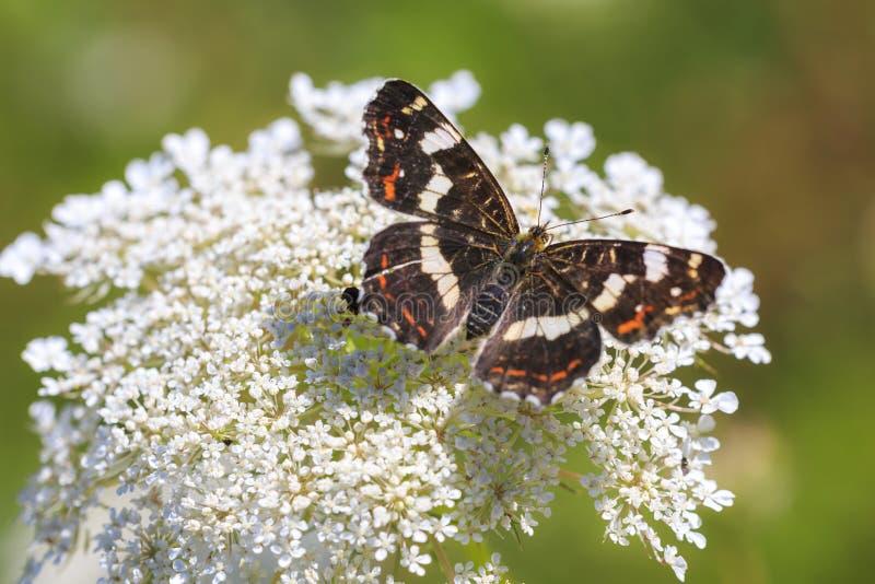Opinión superior brillante sobre las alas de un retrato del primer de la mariposa del mapa foto de archivo
