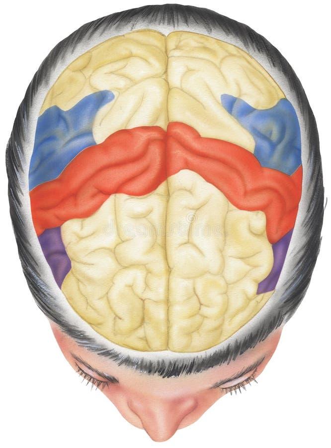 Opinión superior cortada del cráneo del cerebro in situ - libre illustration