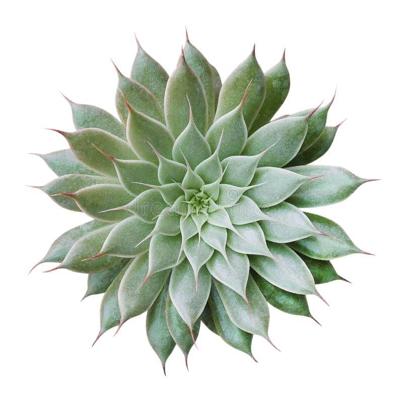 Opinión superior de la planta del cactus aislada en el fondo blanco, trayectoria fotografía de archivo