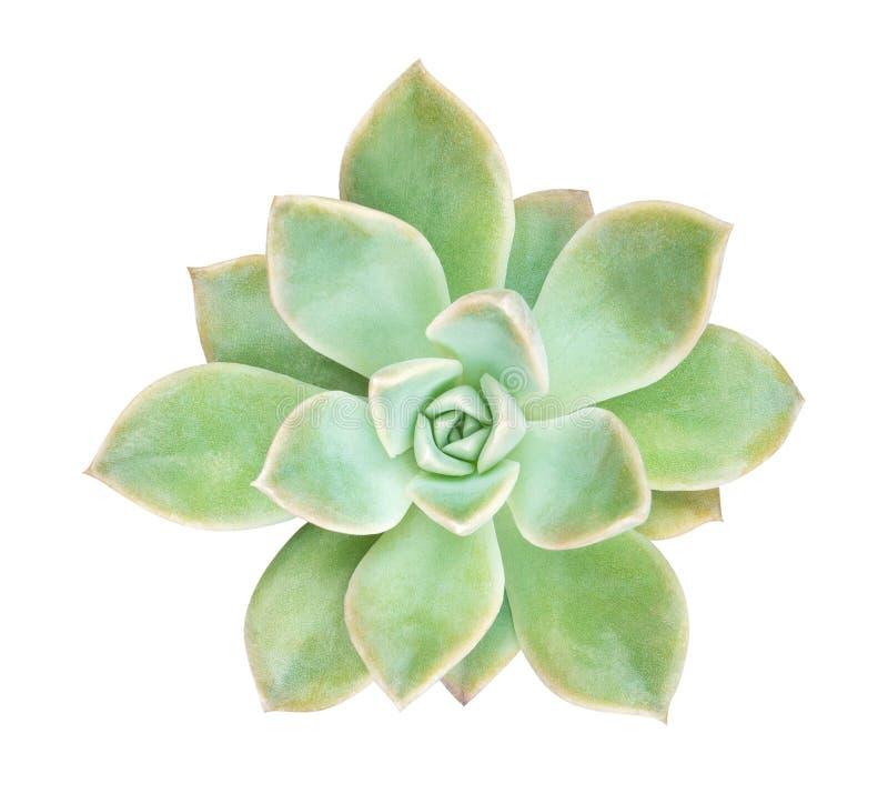 Opinión superior de la planta suculenta del cactus aislada en el fondo blanco, trayectoria imagenes de archivo