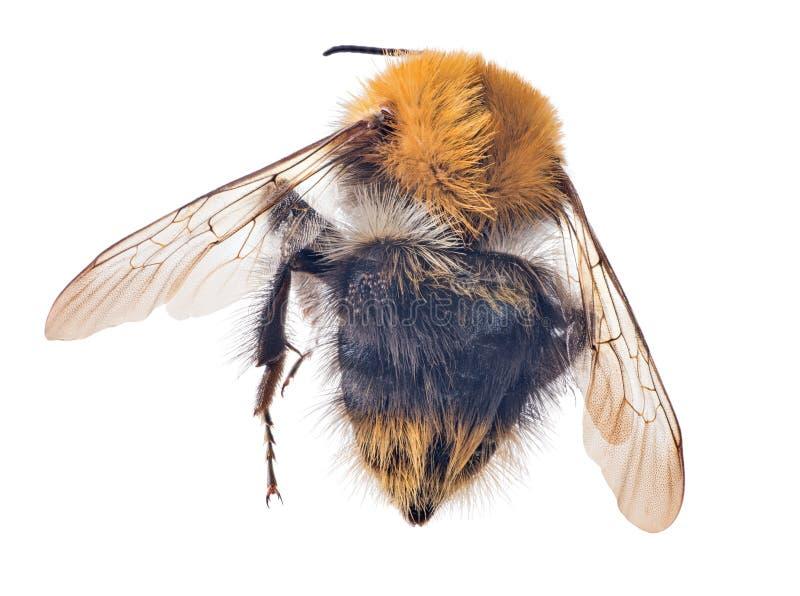 Opinión superior del abejorro grande aislada en blanco fotos de archivo