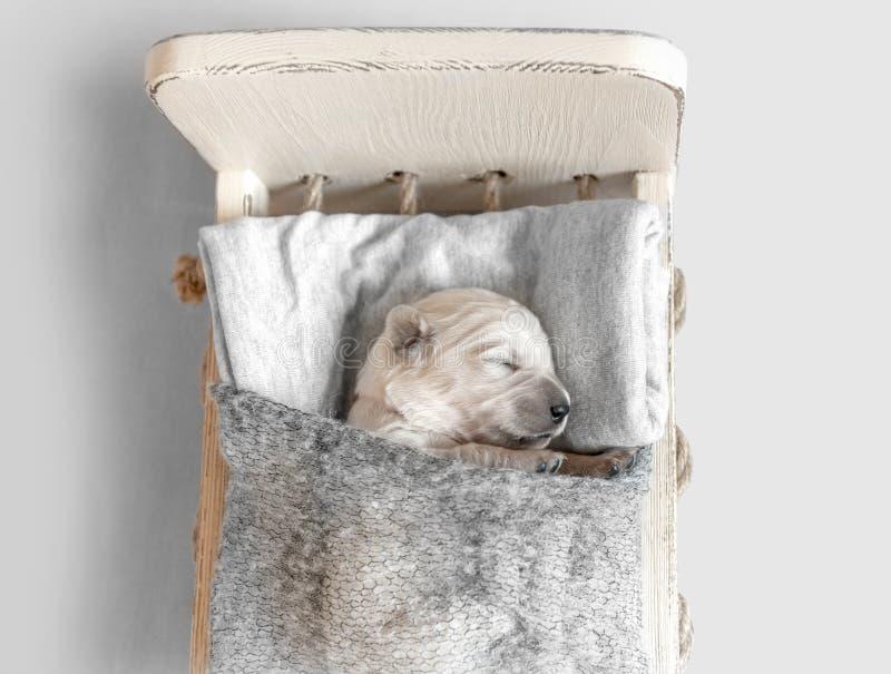 Opinión superior el perrito recién nacido lindo del golden retriever que duerme en la pequeña cama foto de archivo