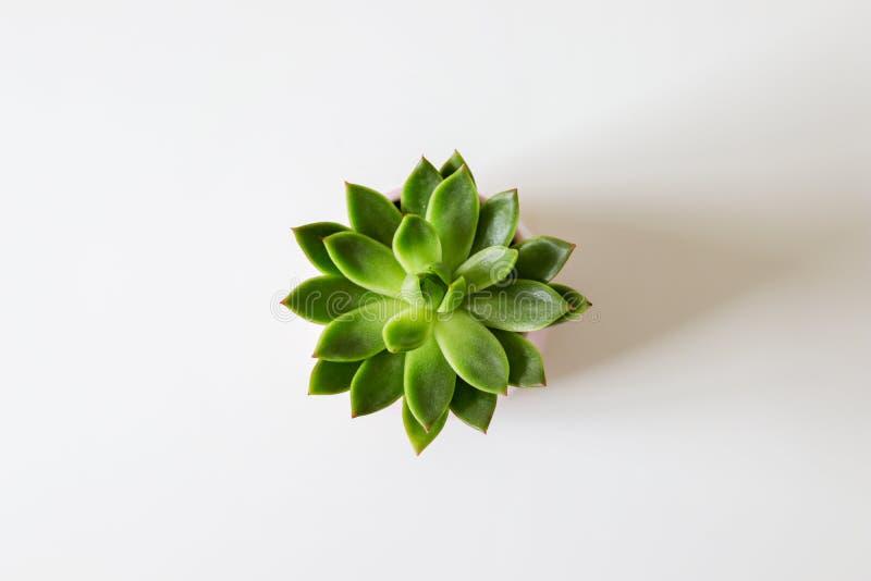 Opinión superior el succulent verde del houseleek en el fondo blanco foto de archivo