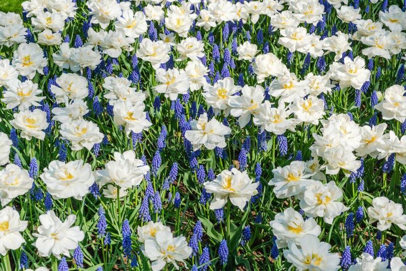Opinión superior los tulipanes blancos florecientes hermosos mezclados con los jacintos de uva azules fotografía de archivo libre de regalías