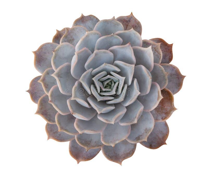 Opinión superior suculenta de la planta tropical de la flor del cactus aislada en el fondo blanco, trayectoria de recortes fotografía de archivo