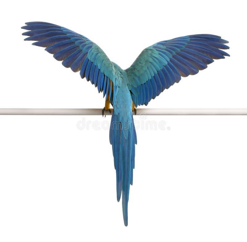 Opinión trasera el Macaw azul y amarillo, Ara Ararauna fotos de archivo