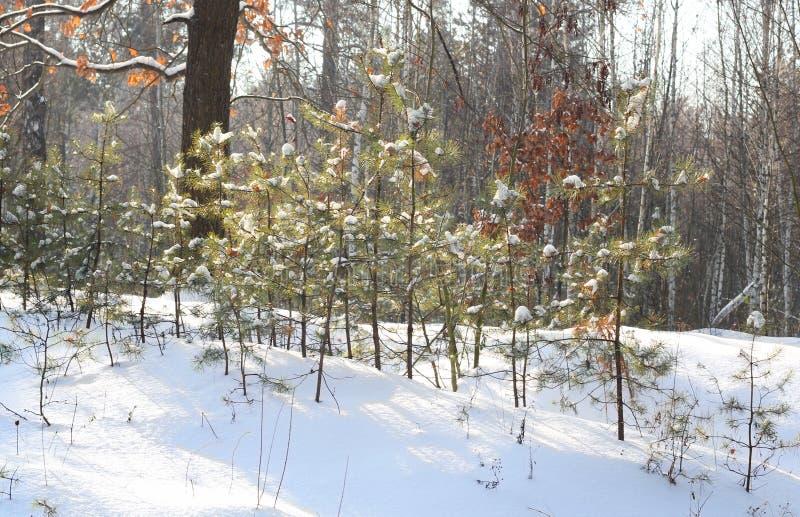 Opinión un nuevo pequeño pino que crece al borde del bosque en un día de invierno soleado Cubiertas de nieve blancas la tierra Ha imagenes de archivo