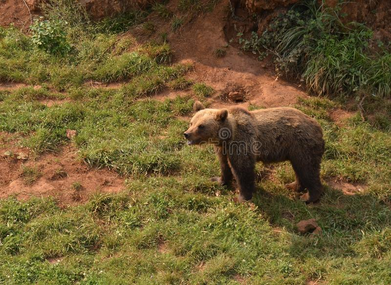 Opinión un oso en naturaleza foto de archivo
