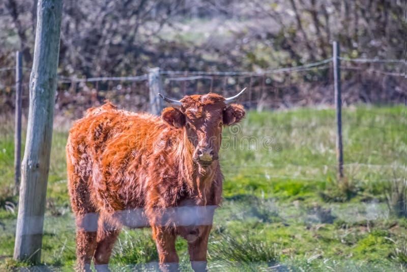 Opinión una vaca en el pasto verde en granja foto de archivo