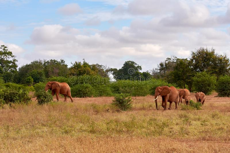 Opinión varios elefantes africanos en la sabana en safari en Kenia - África imágenes de archivo libres de regalías