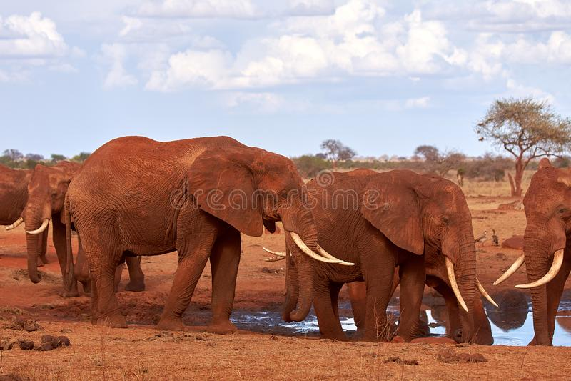 Opinión varios elefantes africanos en la sabana en safari en Kenia, parque nacional de Tsavo imagen de archivo libre de regalías