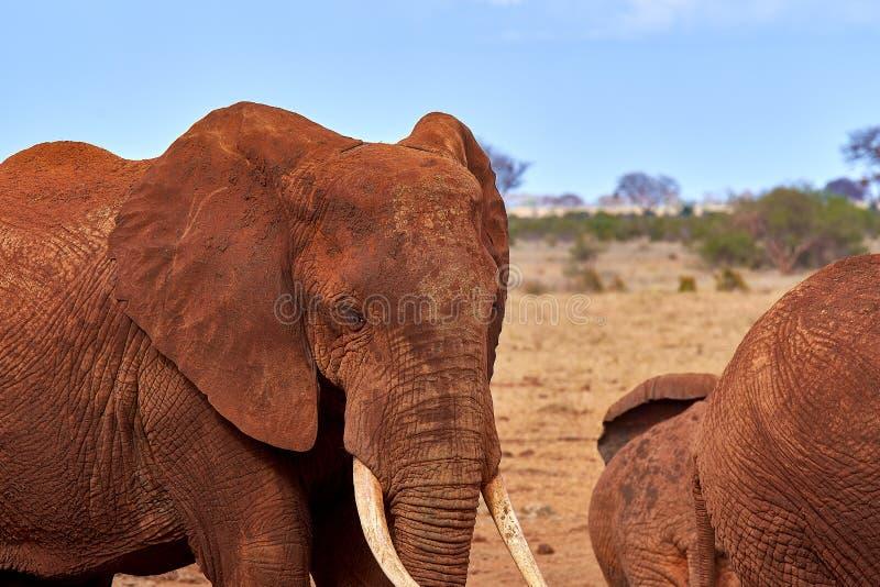Opinión varios elefantes africanos en la sabana en safari en Kenia, parque nacional de Tsavo fotos de archivo libres de regalías
