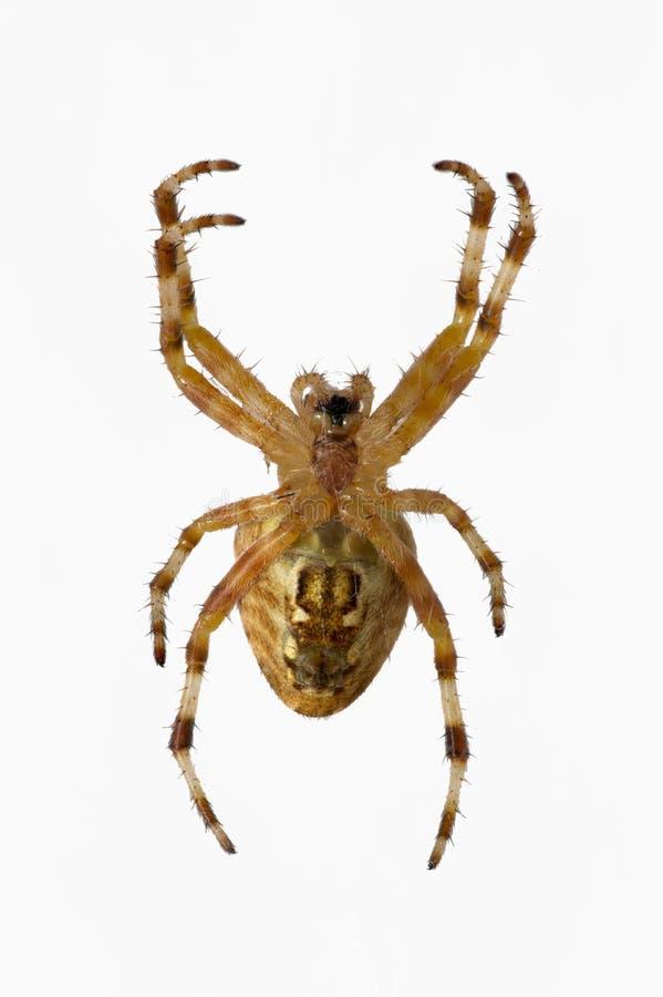 Opinión ventral la araña salvaje aislada imagen de archivo libre de regalías