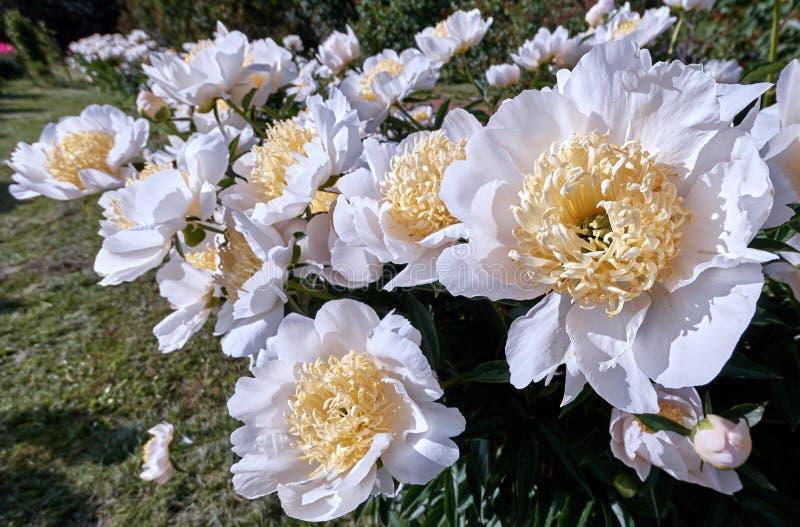 Opinión vibrante del clouseup de las flores dobles amarillas blancas jugosas de la peonía del color en jardín botánico imágenes de archivo libres de regalías