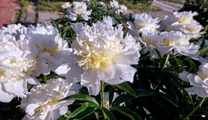 Opinión vibrante del clouseup de las flores dobles amarillas blancas jugosas de la peonía del color en jardín botánico fotos de archivo libres de regalías