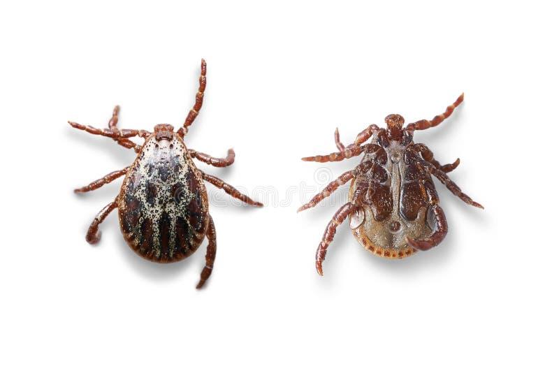 Opiniões superiores e inferiores um ácaro masculino isolado no branco com sombras Foto macro imagem de stock