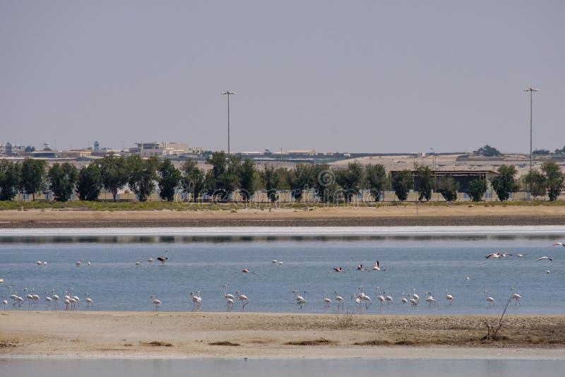 Opini?n grandes flamencos en Al Wathba Wetland Reserve Abu Dhabi, UAE fotografía de archivo libre de regalías