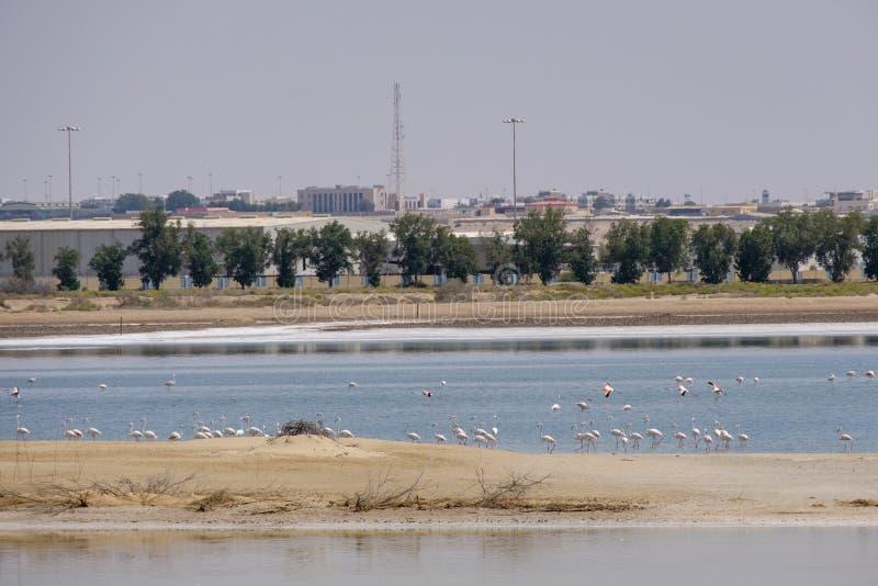 Opini?n grandes flamencos en Al Wathba Wetland Reserve Abu Dhabi, UAE fotos de archivo libres de regalías