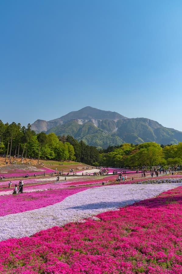 Opini?o o musgo cor-de-rosa Shibazakura, flor do subulata do flox no parque de Hitsujiyama foto de stock royalty free