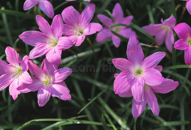 Opini?o superior das flores grandiflora de Zephyranthes fotos de stock royalty free