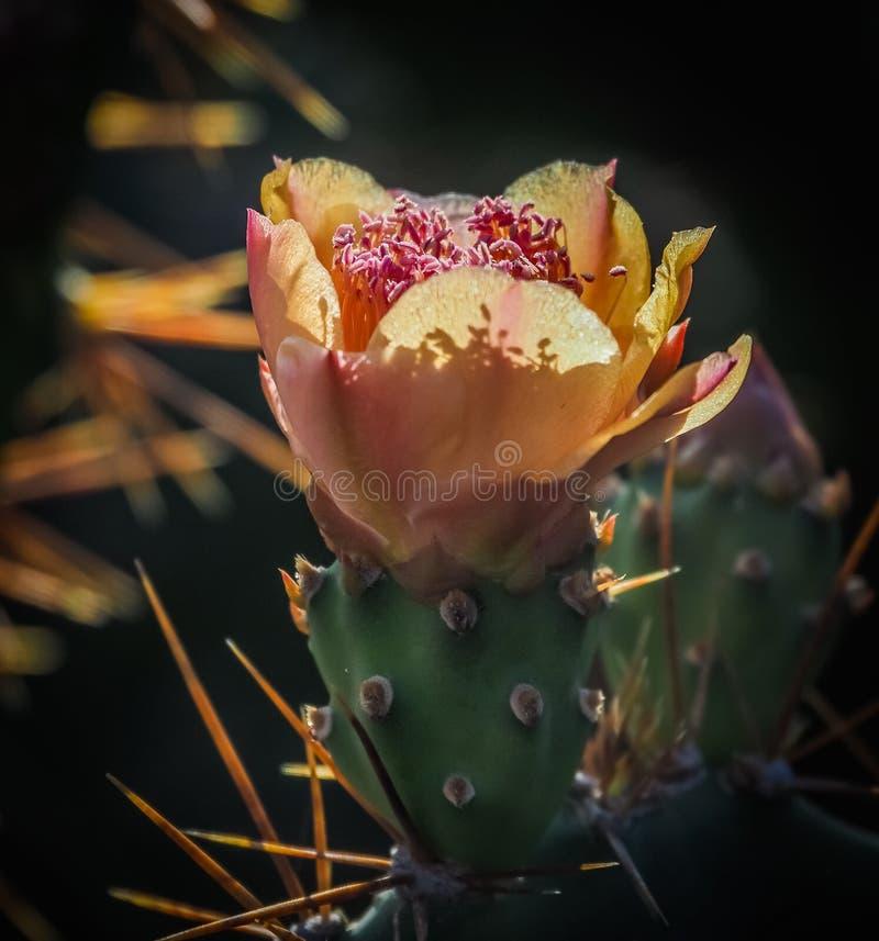 Opiniones de Curaçao de la flor del cactus de la naturaleza fotos de archivo