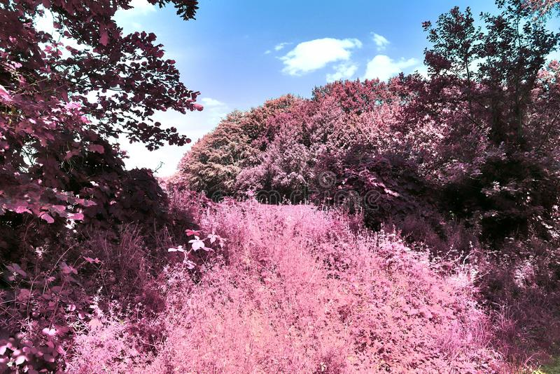 Opiniones infrarrojas de la fantasía hermosa en un bosque púrpura del misterio imágenes de archivo libres de regalías