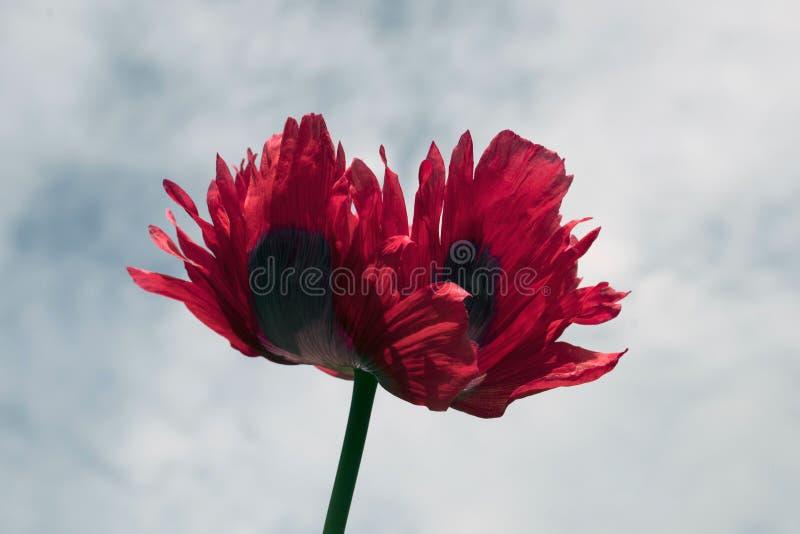 Opio Poppy Flower Close Up imagenes de archivo