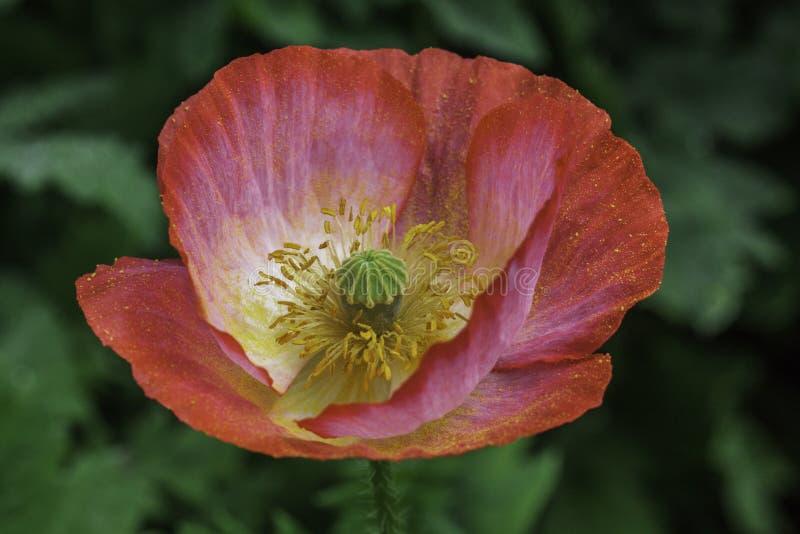 opium stock afbeelding