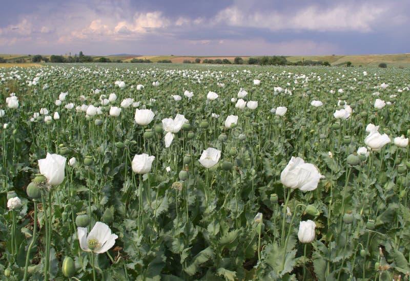 Opium-Feld stockfotografie