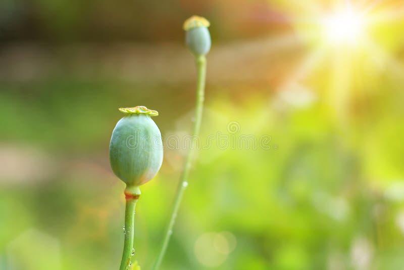Opium frais cru photos stock