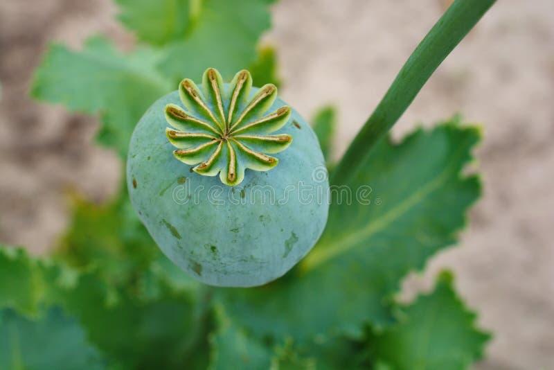 Opium, Mohnkapsel lizenzfreie stockfotos