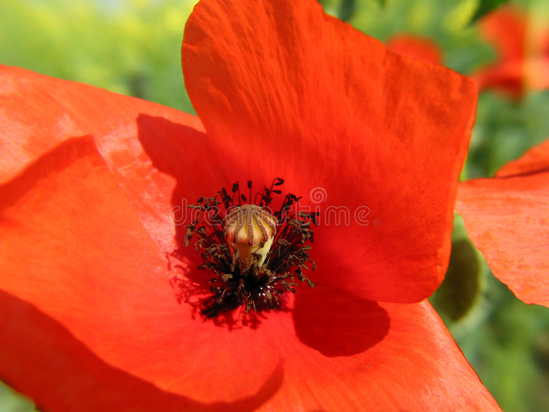 Opium poppy stock photography