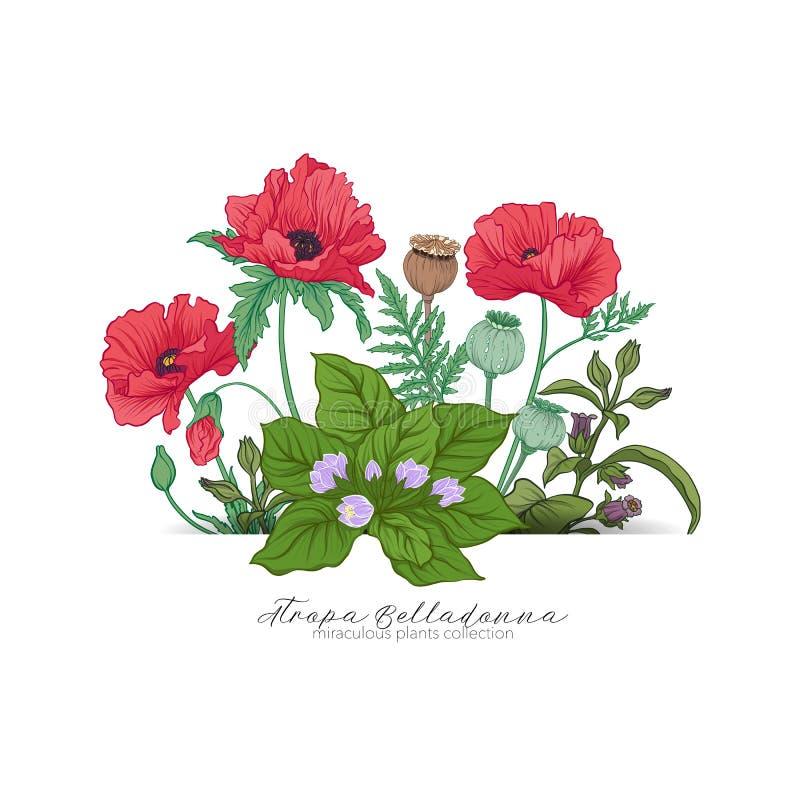 Opium poppy, belladonna and mandragora. Set of miraculous plants. In botanical style. Stock line vector illustration vector illustration