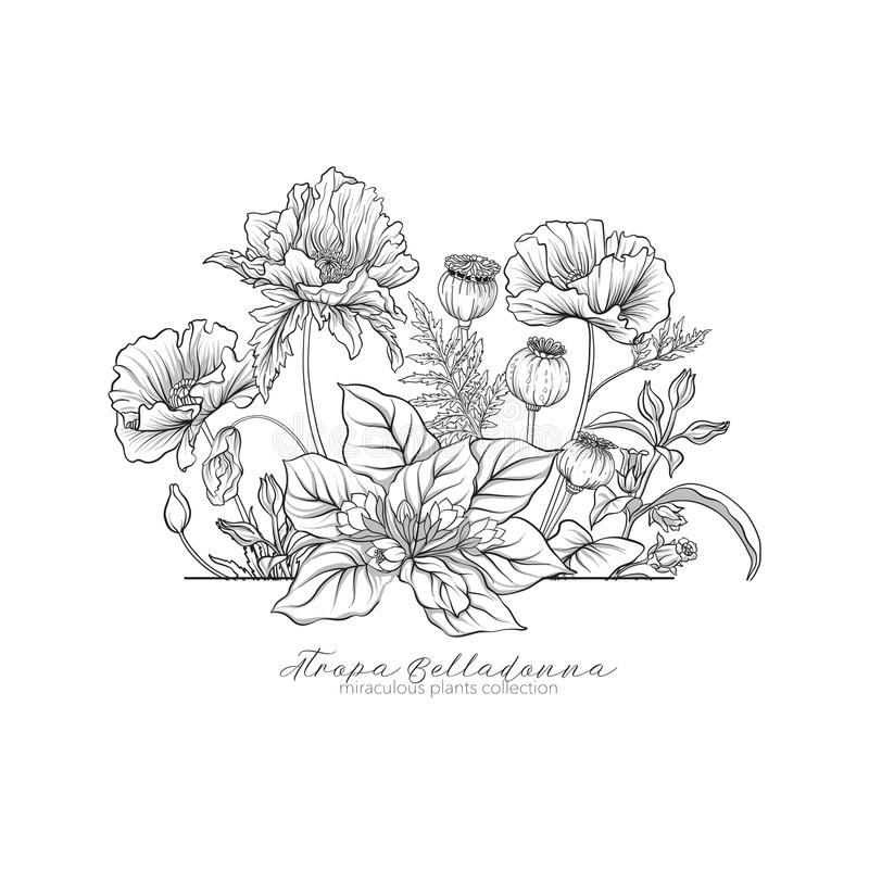 Opium poppy, belladonna and mandragora. Set of miraculous plants. In botanical style. Stock line vector illustration royalty free illustration
