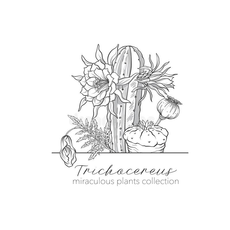 Opium poppy, echinopsis and ophophora. Set of miraculous plants. In botanical style. Stock line vector illustration vector illustration