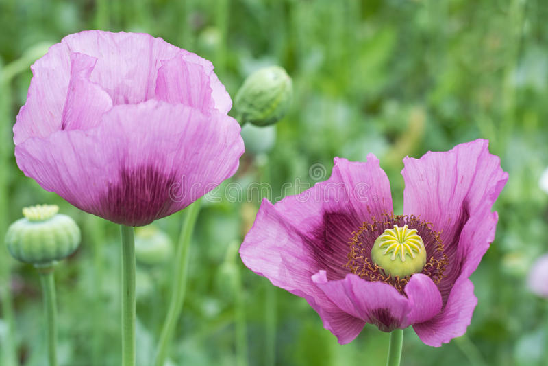 Opium Poppy Flower Closeup stock foto