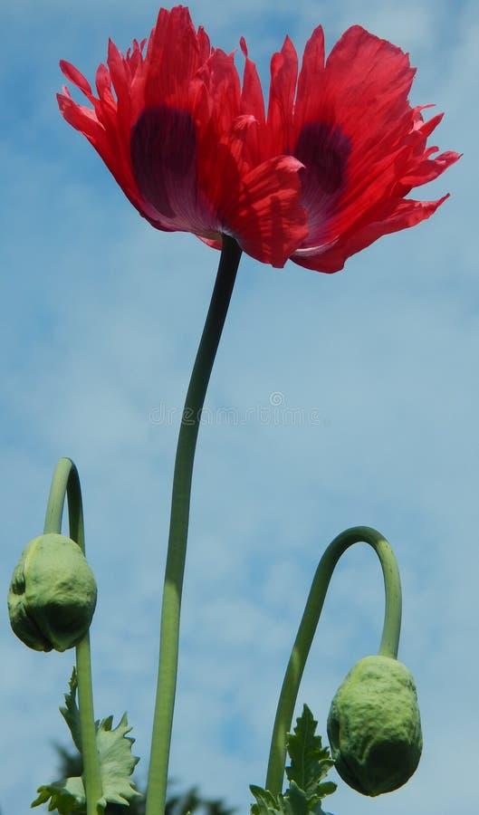 Opium Poppy Flower en Knoppen royalty-vrije stock foto