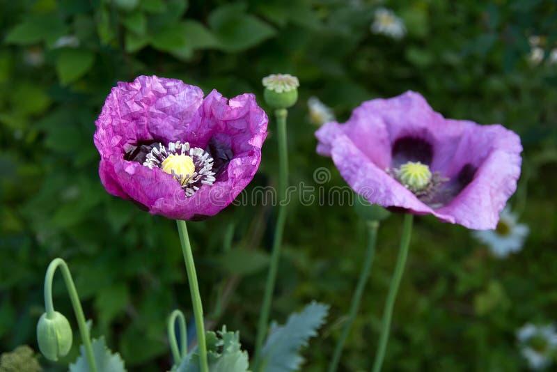 Opium poppy flower stock photo image of papaver fresh 103442202 download opium poppy flower stock photo image of papaver fresh 103442202 mightylinksfo Gallery