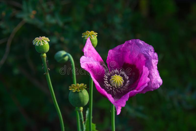 Opium poppy flower. Seeds in field, drug royalty free stock photo