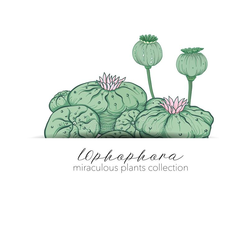 Opium poppy and ophophora. Set of miraculous plants in botanical. Style. Stock line vector illustration royalty free illustration