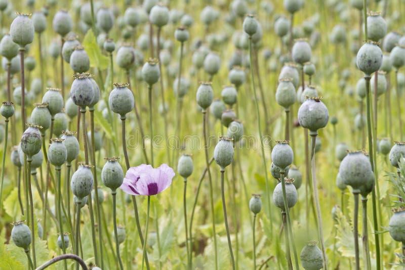 Opium poppy, Papaver somniferum stock images