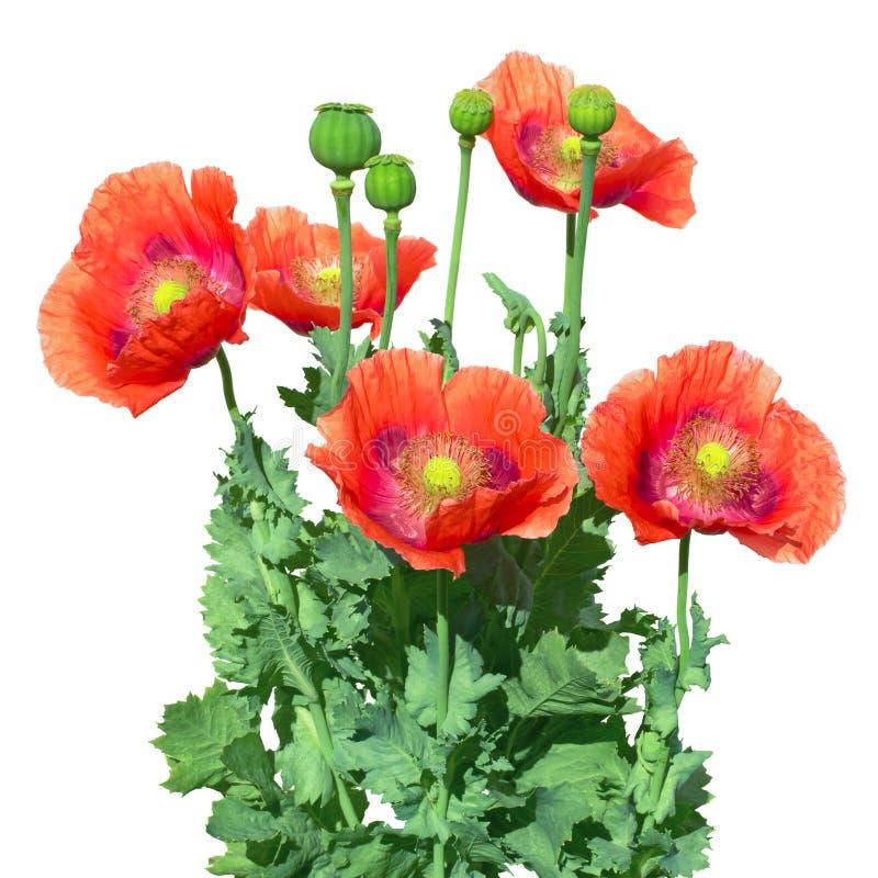 Opium poppy. The papaver somniferum. stock photos