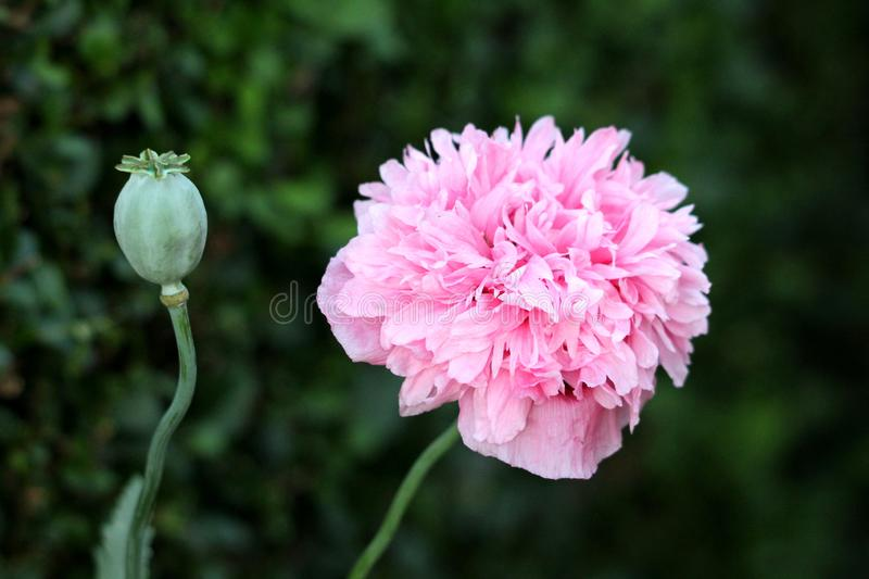 Opium poppy or Papaver somniferum annual flowering plants with fully open blooming mauve flower next to one with rounded capsule. Opium poppy or Papaver stock images