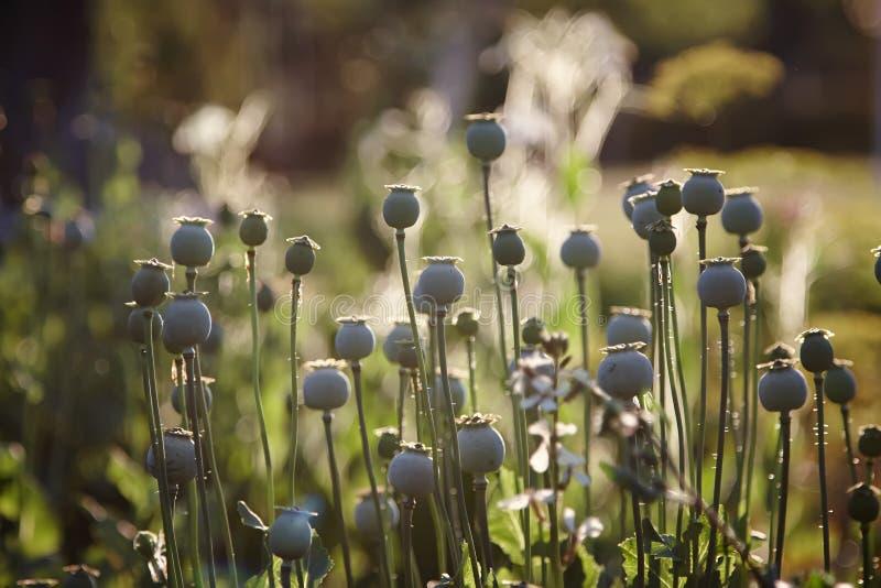 Opiumowy maczek z polem z ostrości w tle obraz stock
