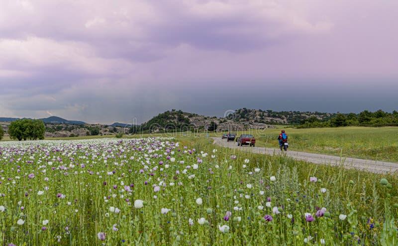 Opiumvallmo med vitt och purpurfärgat växa för blommor i fält och bilar och moped i trafik precis nära fälten, arkivfoton